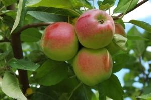 Apples-_Sumac_2